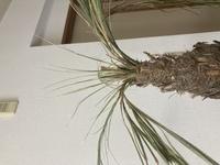 今年の1月に購入したフェニックスロベリニーが枯れてきていたので植え替えを行ないました。 この状態から復活しますか?