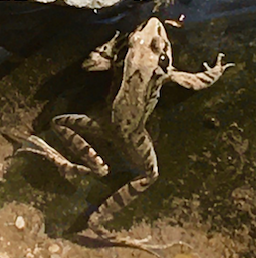これはカエルはなんと言う種類ですか? 場所は茨城です。