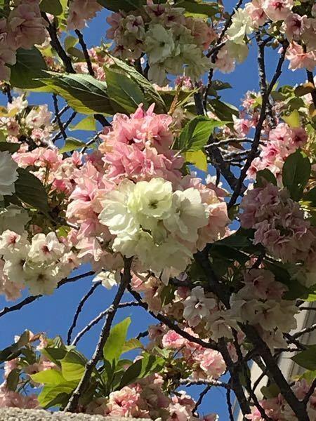 添付画像の植物は八重桜と同じ場所で咲いていて、ピンクと白色の花で薄いグリーンのスジみたいなのが入っていました。花は少し終わりかけていました。品種名がわかれば教えてください。本日撮影大阪です。