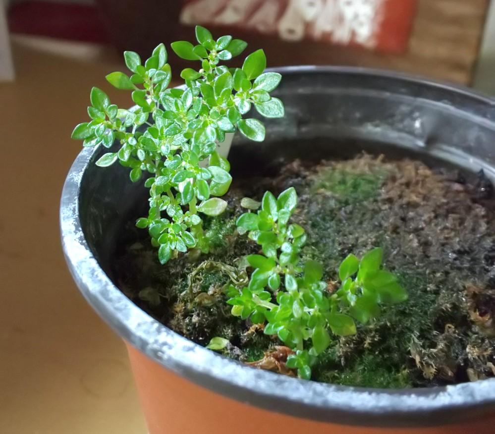 この植物の名前を教えてください 家内の鉢に生えてきたものです 葉っぱは2~3ミリ×5ミリほどで、何ヵ月経っても大きくはなりません 育て方も分かればうれしいです よろしくお願いします