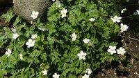 母が数年前に人からもらった山野草です。かわいい花が咲いています。これはなんと言う植物ですか?