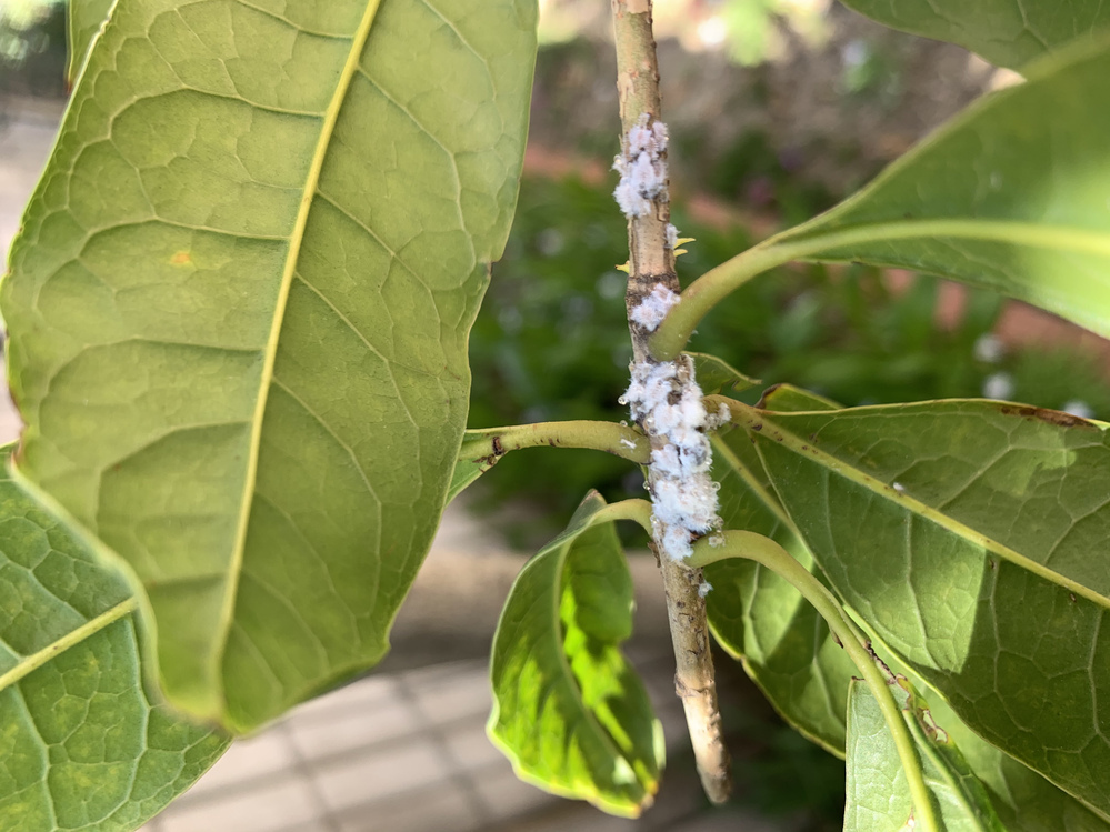 これはカイガラムシでしょうか? 今朝気がついたのですが金木犀の枝についていました。 手の届くところだったので切り落としましたが、木の高さ3メートルぐらいあります。 目に見えないところにもあるかもしれません。 どうすればよろしいでしょうか? すぐにそばに、蔓性のバラの木があり、つぼみをたくさんつけています。 影響はありますか? どなたか、詳しい方 教えていただけますでしょうか? よろしくお願...