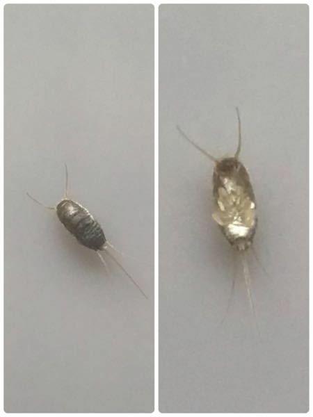 虫の名前 この虫の名前分かる方いらっしゃいますか?気づいたら寝室の蛍光灯のカバーの中に居て、数日間チョロチョロした後死んでいたので掃除機で吸ったのですが。割と早く動いてました。 築35年のマンションの3 階に住んでますが、4年住んで家の中でゴキブリが出たことは一度もありません。