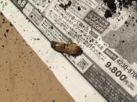 幼虫画像注意です。 植木鉢の中から出てきました。何の幼虫でしょうか?