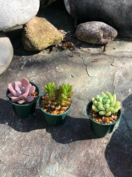 この多肉植物の名前、左から順に教えてください!