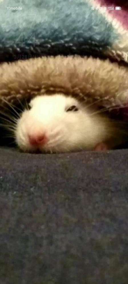 閲覧ありがとうございます。 パンダマウスをお迎えしようと考えています。フードについてお伺いしたいです。皆さんはどこのペレットを与えていますでしょうか。 メーカーと品名を教えてください。 現在、ファンシーラットを飼っています。以前はジャンガリアンハムスターを飼っていた経験があります。 パンダマウスにはマウス用のペレットを与えようと考えていましたが、 ネットではオリエンタル酵母「マウス・ラッ...