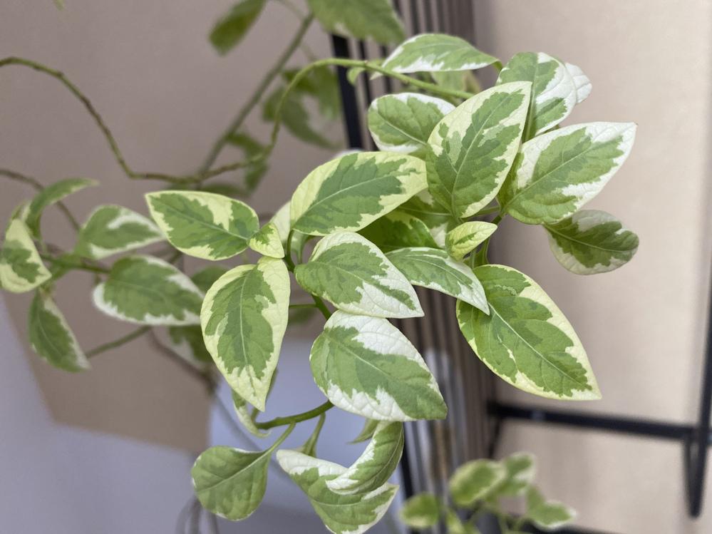 植物の名前がわかる方、教えてください。 数年前にホームセンターの庭木コーナーで売られているのを購入。形が可愛かったので明るい室内で育てていたのですが、最近落葉が多く、今になって正しい育て方を調べ...