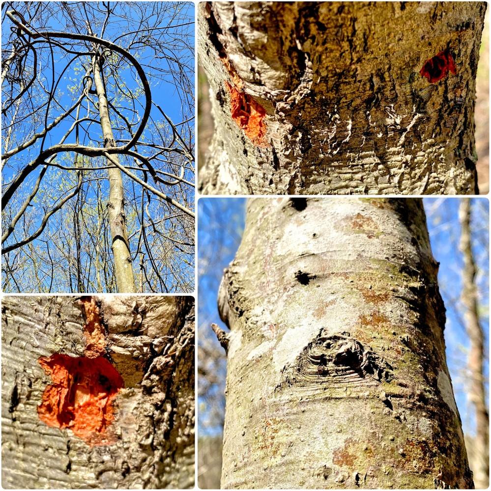 樹木の名前を教えてください。 おそらく枯れていると思われます。