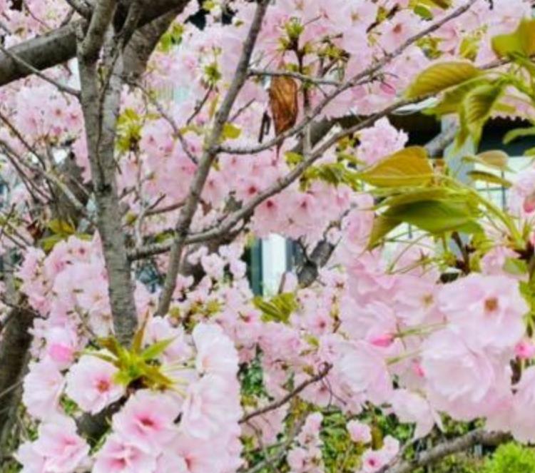 この桜の種類を教えてください