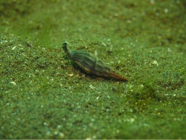 このムシロガイの種類がわかる猛者っていますか?