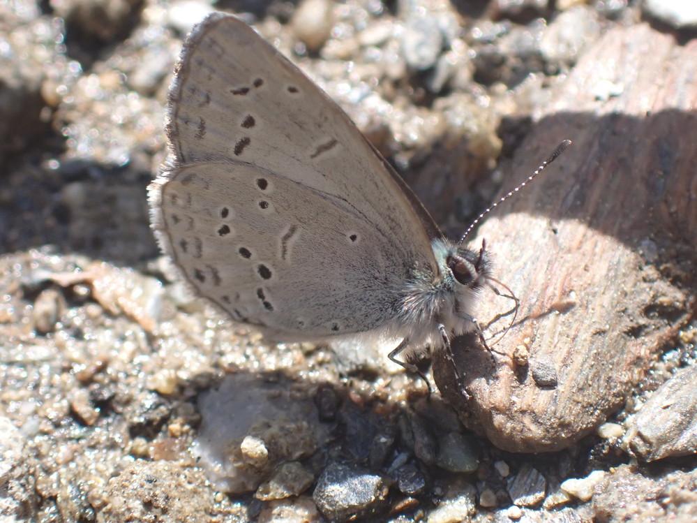 画像の蝶は、普通のルリシジミですか?それとも、スギタニルリシジミですか?