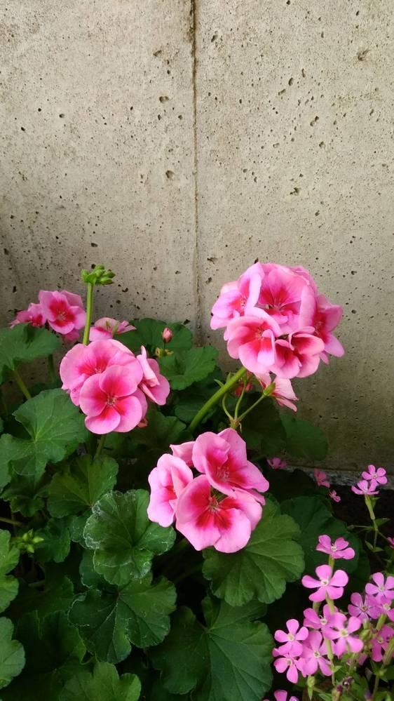 このお花の名前を教えてください! 右側のお花の名前も 道端で咲いていて可愛いなぁと思ったのですが詳しくないため知りたいです! 宜しくお願いします