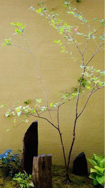 この画像の 木の名前をご存知のかたがいたら 教えてください。