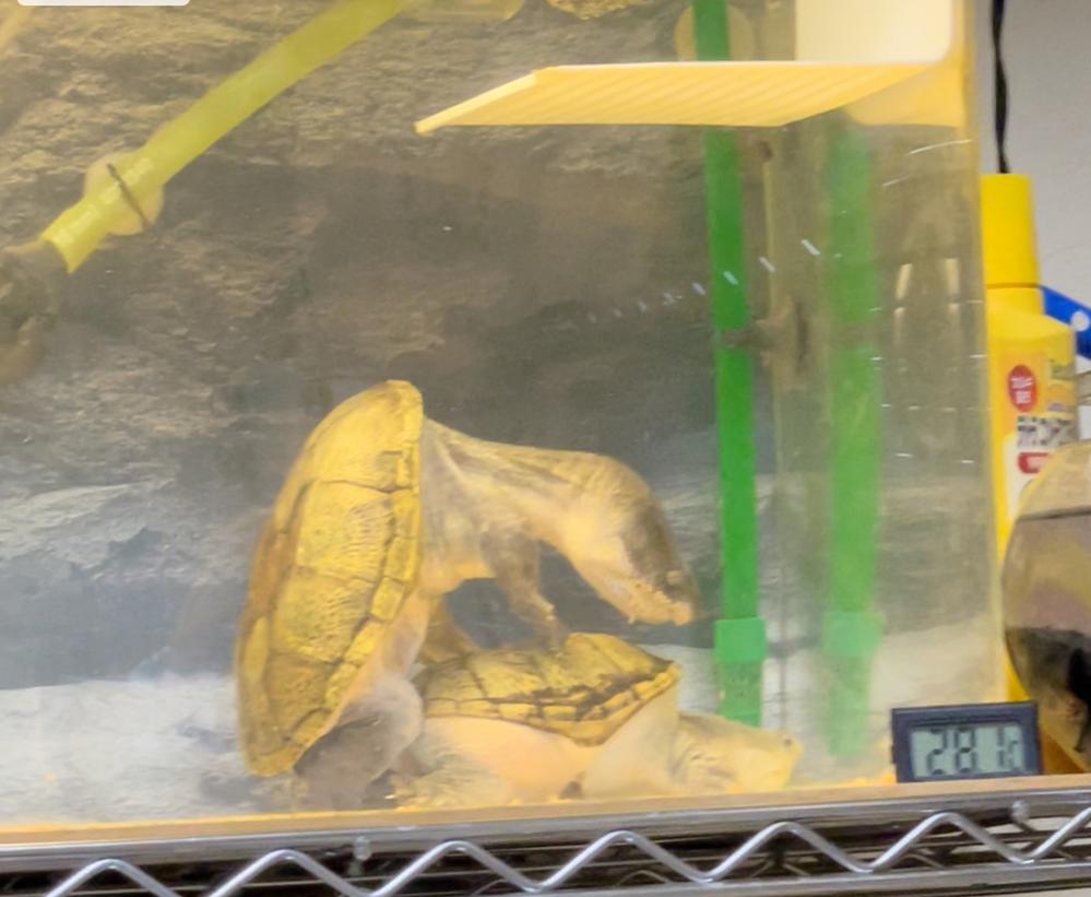 ハラガケガメ初心者です! ハラガケガメがやっと交接してくれました! 繁殖初経験なんですが、産卵したら卵の管理方法(インキュベーター)等必要ですかね? 温度は何度管理なんですかね?床材は水苔?ハッチライト? 調べまくっても出てきません(;_;) ハラガケガメの繁殖に詳しい方、ど素人のお力になって下さい!宜しくお願い致します<(_ _)> #ハラガケガメ #ハラガケガメ繁殖 #亀 ...