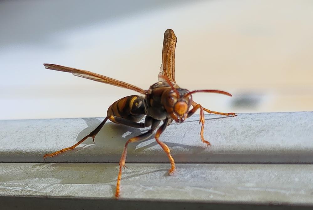 これはスズメバチですか? アシナガバチですか? 目が合ったので撮影してみました。 機嫌は良くなかったようで こちらに飛んできたので逃げてきました