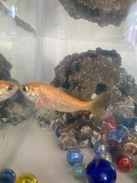 写真のこの魚、お祭りの金魚すくいで貰った金魚で約10年くらい生きているのですがなぜなのでしょうか? 長生きな分には嬉しいですが常に疑問を抱いています。