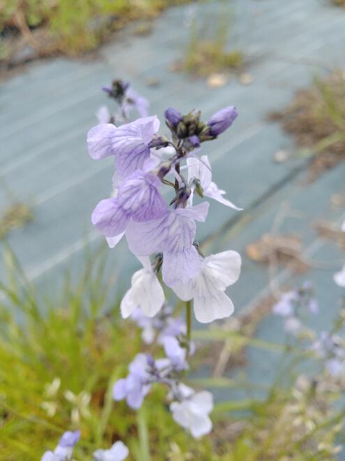 この花の名前をお願いします。