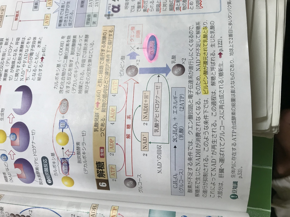 高校生物の代謝です。 この解糖の仕組みと俗に言う「乳酸が溜まる」を繋げて説明出来ませんか??