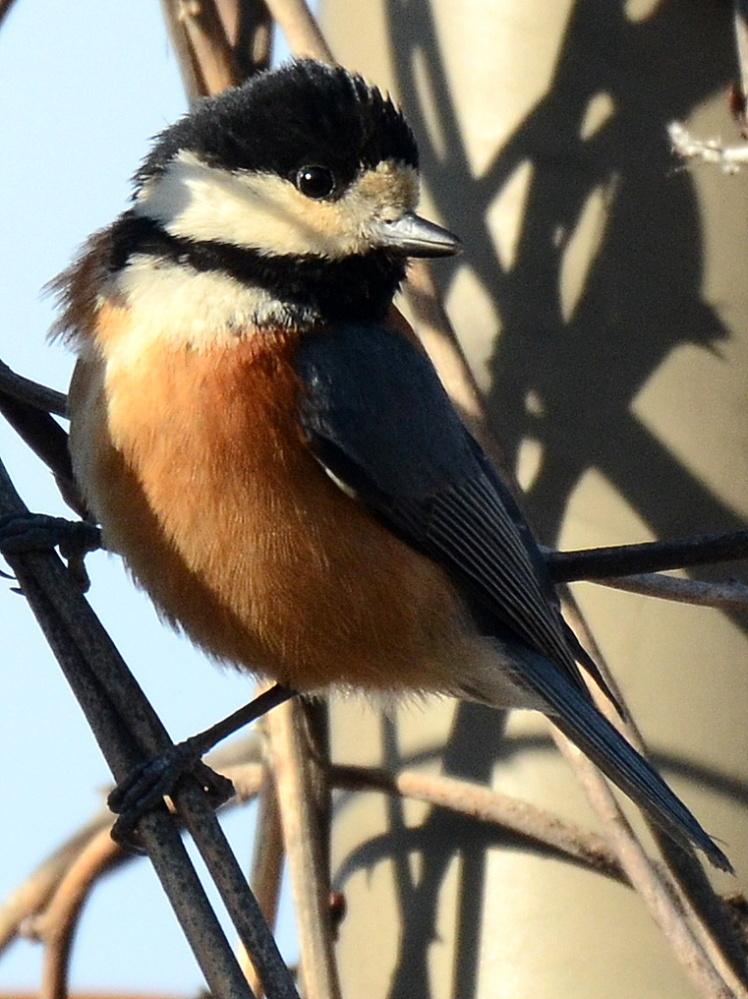 すいません、この野鳥はヤマガラでしょうか?宜しくお願い致します。