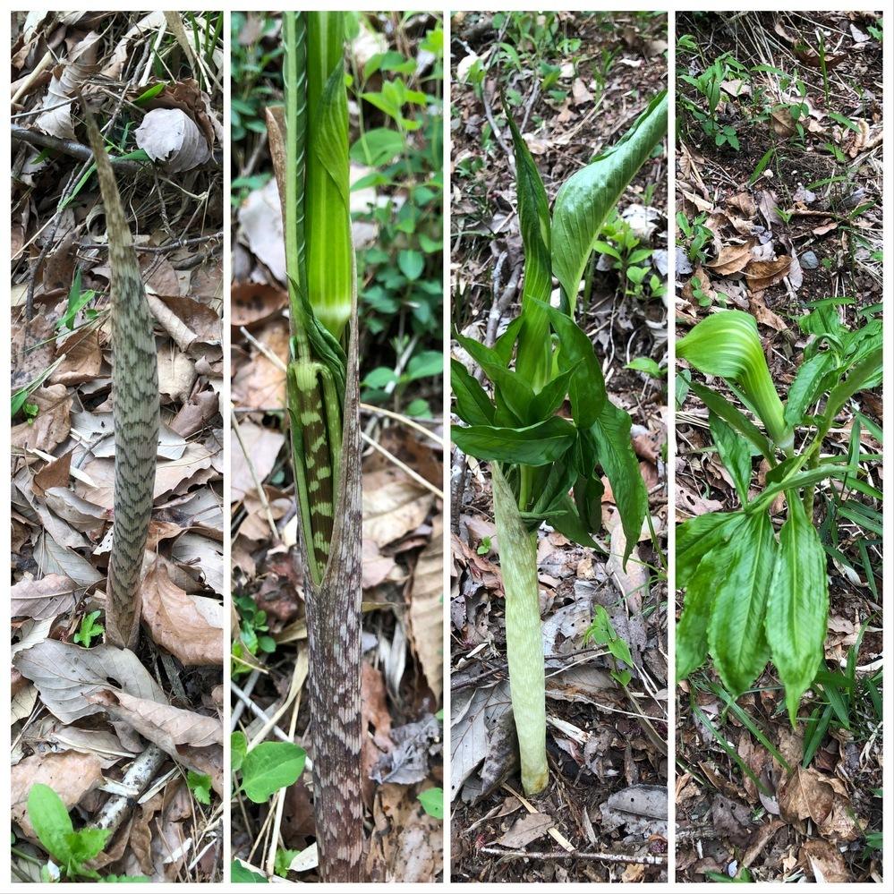 この植物は、何でしょうか。 筍のような形で生えてきて、成長すると中から葉が出てきています。 抜いてみると触感はネギのようで、根のところには鱗茎があります。