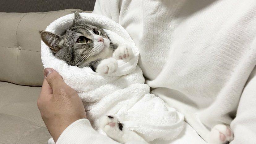この猫ちゃんの飼い主さんのTwitterアカウントってどれですか? Twitterで保存したのですが保存元のアカウントを忘れてしまいました。