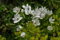 ニラに似た花ですが,何でしょうか。雄しべの先端が緑色です。