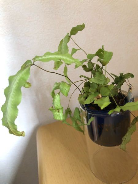 プテリスを水栽培で育てていますが葉が一部茶色や黒色に変色したりしています また写真にもあるように葉が萎れています 直射日光を避けた場所で育て、水は2日に1回のペースで変えています なにかアドバイスがあればよろしくお願いします