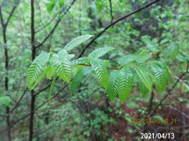 木の名前を教えてください、 青っぽい幹の写真もあります、 岐阜県米田白山で、 撮影20210413