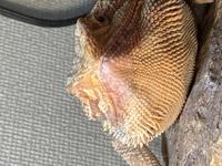 フトアゴヒゲトカゲのアゴに皮がついていてこれは脱皮不全ですか?