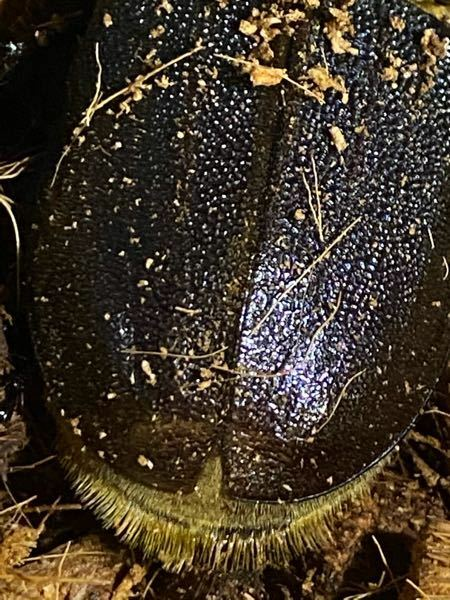 ヘラクレスオオカブトのメスについて 2ヶ月前に羽化した♀個体ですがよく見ると前翅の先端がパカッと開いていました 恐らく不全だと認識していますが交尾や産卵は可能なのでしょうか、回答よろしくお願いします ちなみに後翅は完全に仕舞えてます