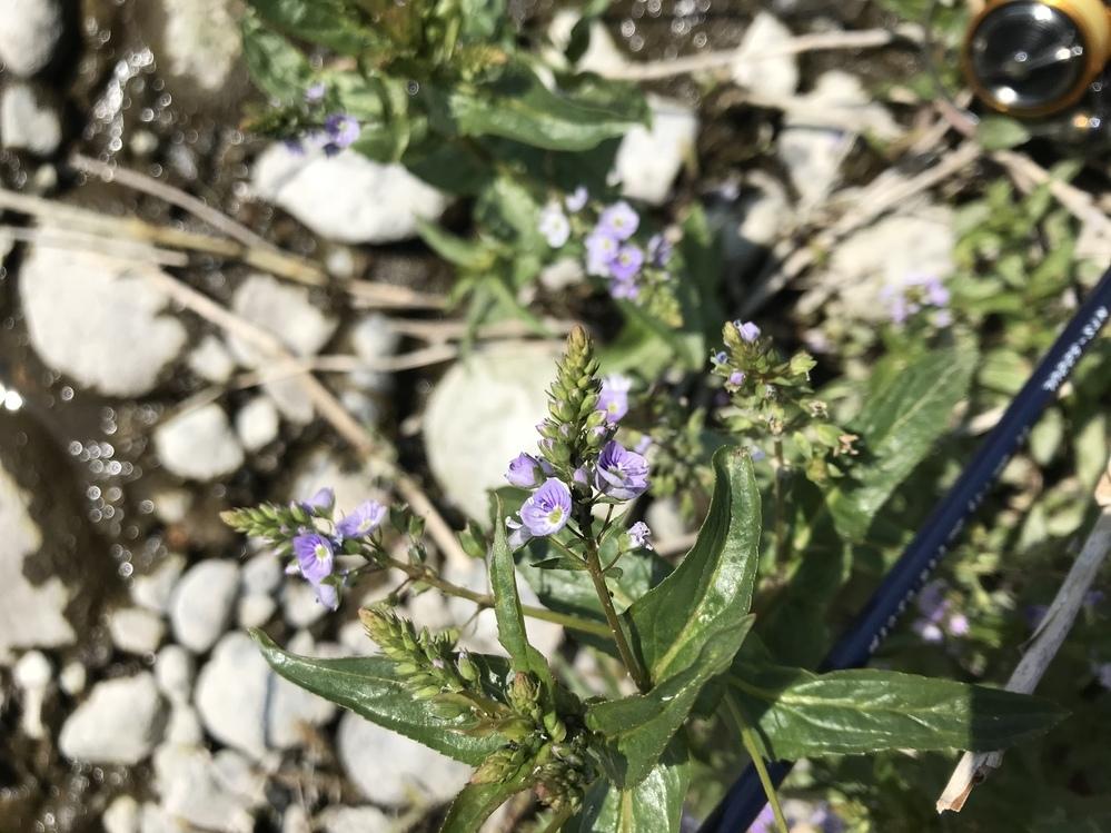 栃木県足利市の渡良瀬川の河原にありました。なんという花でしょうか?教えてくださると嬉しいです