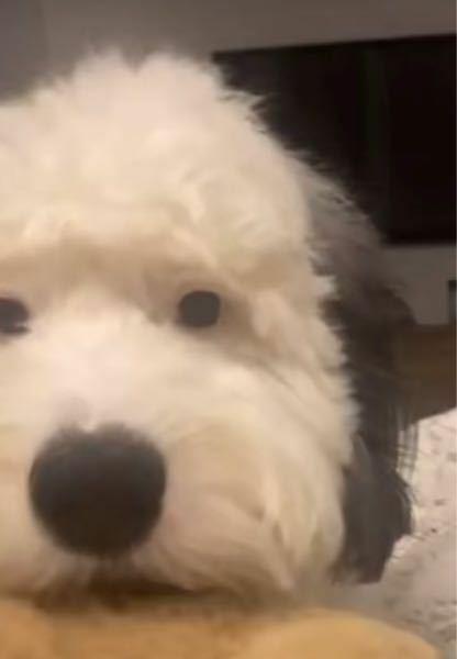 このわんちゃんの犬種わかりますか??
