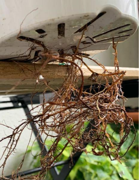 フリマサイトでベンジャミンバロックを購入しました。今日届いたら、鉢底から根がいっぱい出てます。これは根詰まりでしょうか?植え替えないといけませんか?ワンルームでベランダも狭いので、作業スペースがありま せん。なので植え替えて一回り大きい鉢にする選択肢はありません。この出てる根を切ってしまったらいけないのでしょうか?