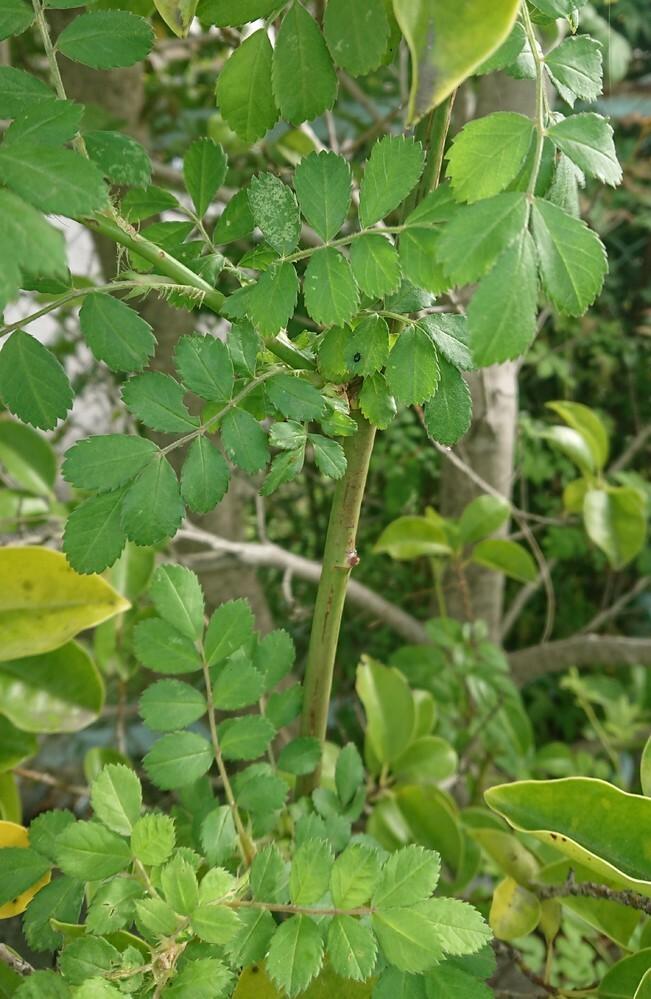 この植物の名前を教えていただけると助かります。写真を添付いたします。 細い枝ですが、枝分かれしながら全体的に2m程度伸びています。葉っぱはギザギザしていて、小さ目です。 どうぞよろしくお願いいたします。