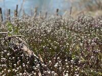 春に見るこの小さい白い花が咲く植物の名前はなんでしょうか