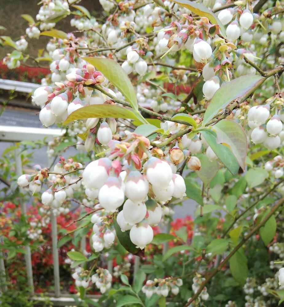 この木、植物はなんでしょうか? 庭にもともと植えてあった木なのですが、 春先にすずらんの花のような花が沢山咲いていました。背丈は150センチ位に大きく育っているようです。 この木はなんの木でしょうか? ご存知の方いらっしゃいましたら教えてください。