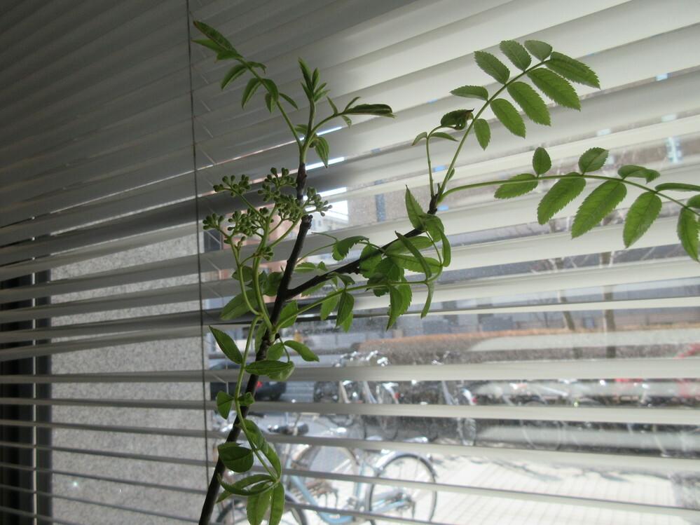 いつもありがとうございます。この植物の名前を教えて下さい。(役所で見たものです。)