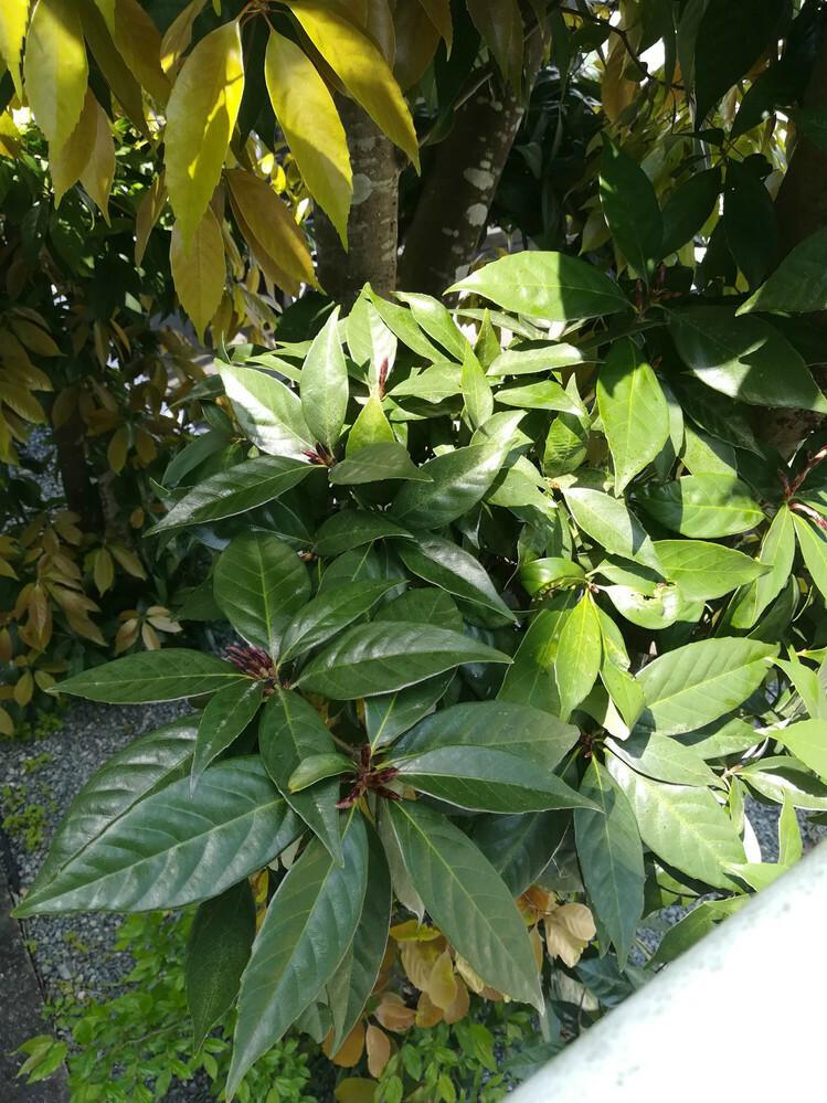 この木はシラカシでしょうか? 場所は三重県で、日当たりのあまり良くない場所です 樹高は3メートルほどです
