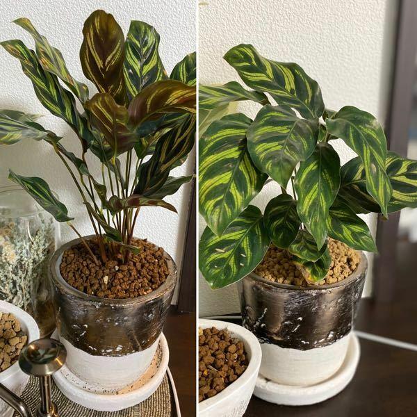 観葉植物が上を向いた(?)のですが、なぜでしょう?写真あります。 購入して1週間ほどです。 買った時は右の状態でしたが、ここ二日くらいで葉がピンと上に向いてます。 なぜでしょう??