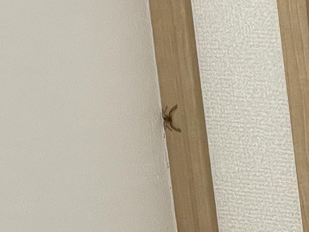 家に蜘蛛が出ました。 これは何という蜘蛛でしょうか。 放置しても大丈夫でしょうか。