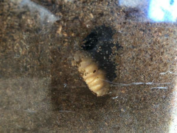 カブトムシ飼育中です。 もしかしてこの子は、蛹になろうとしているのでしょうか。 4月になり、そろそろ蛹準備に向けて土を替えようと思っていたのですが、2日前からこの場から移動せずモゾモゾするのみです。 前回12月頃に土を替えたので糞だらけなのでは?と思っているのですが・・・ もう触らないでそのままにしておいた方が良いでしょうか。