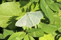 昨日、北九州市で見た清楚な感じの蛾です。名前を知りたいので、ご存じの方教えて下さい。