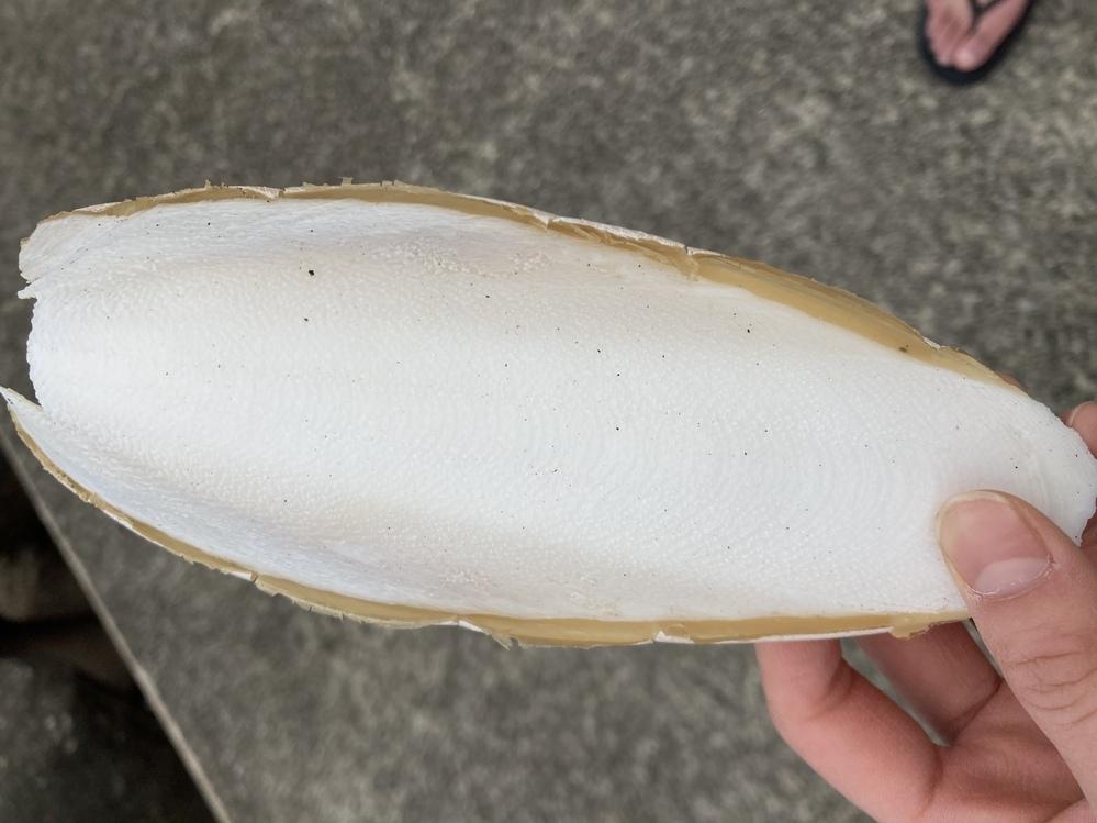 静岡県伊東市の海辺に何個か落ちてました。 素材は貝っぽい感じです。 これの正体を教えてください。