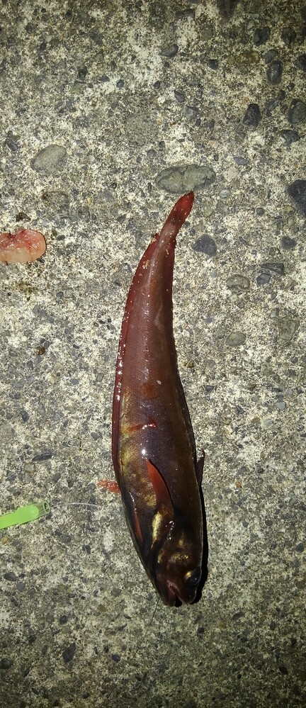 夜釣りをしているんですが、変な魚が釣れました。 この魚の名前はなんですか? 食べられますか?