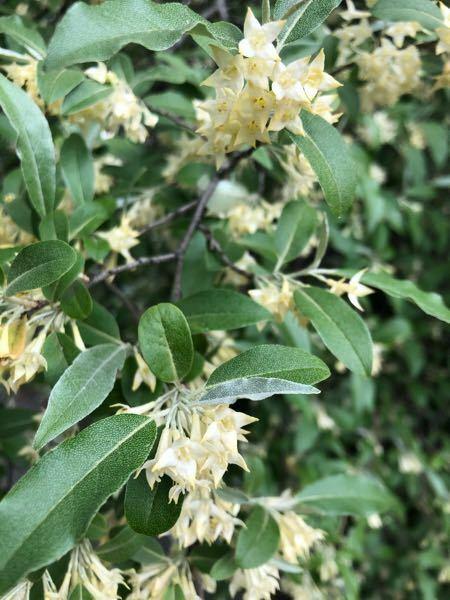 この木は何の木でしょう? 良い香りの花が咲いています。 調べましたが見つかりません。 よろしくお願いします。
