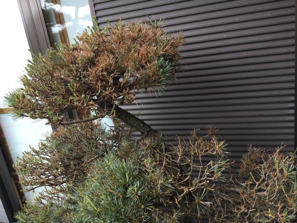 庭に地植えしている五葉松に下記画像のように枯れている部分があります。 この状態で芽摘みをして大丈夫でしょうか。 対処方法を教えて下さい。 宜しくお願いします。