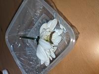 今日買った花に付いていたこの芋虫は、 成長すると何になりますか? 解答宜しくお願いします。