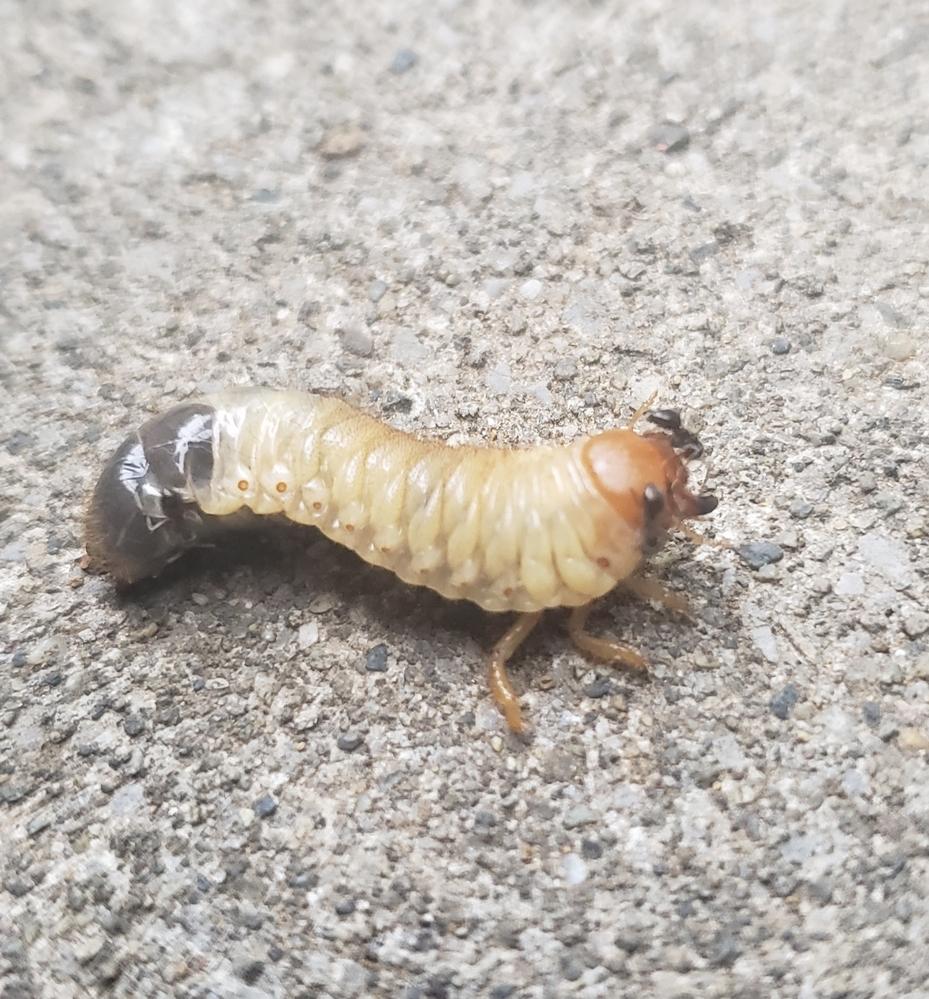 何の幼虫か教えてください。 3cmほどのこの幼虫は、何の幼虫ですか。 小さなアリにたかられています。
