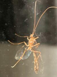 家の窓についていました。なんて名前の虫ですか?? 窓を叩いても逃げないのですが、寝ているのでしょうか?死んだふり???