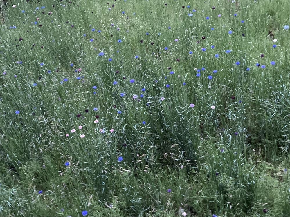 画像のような矢車草のお花畑を作るにはタネを撒くのでしょうか、苗をたくさん植えるのでしょうか。